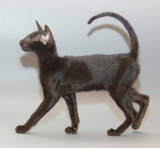 Какая порода кошек самая умная?