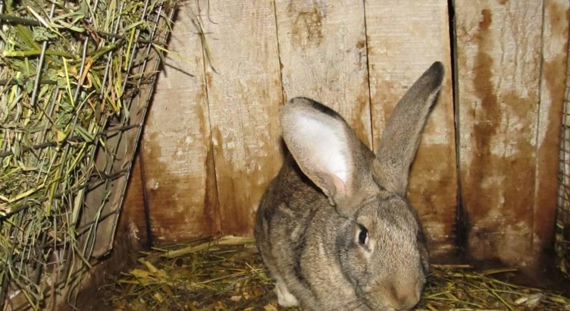 Кролики великаны (37 фото): описание животных-гигантов. какие самые большие породы кроликов в мире? вес крупных особей. особенности содержания: разведение, выращивание и кормление