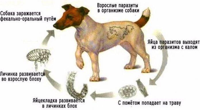 Глисты у собак: причины, симптомы, диагностика и лечение