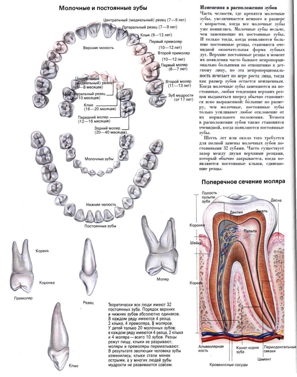 Зубы человека: строение, анатомия зуба, как устроен зуб