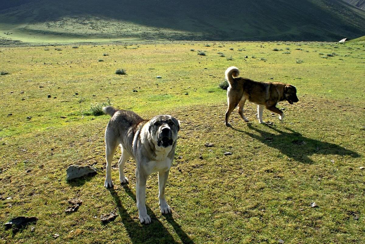 Сравнение алабая с кавказской овчаркой и большими собаками. помеси алабая.