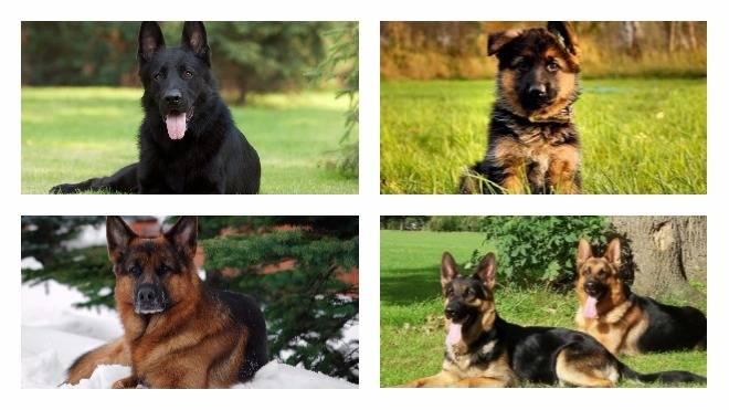 Виды немецких овчарок с фотографиями, окрас щенков: рыжая, черная, белая; а также типы собак