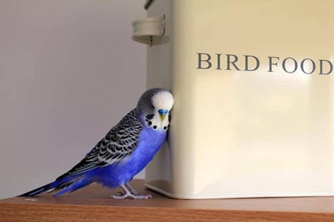 Как научить волнистого попугая разговаривать: 7 шагов
