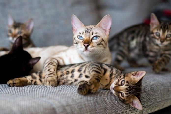 Бенгальские кошки: ? описание породы, характер, здоровье