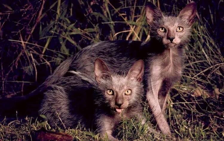 Кот с большими ушами порода