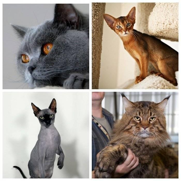 Обзор самых популярных пород кошек в россии