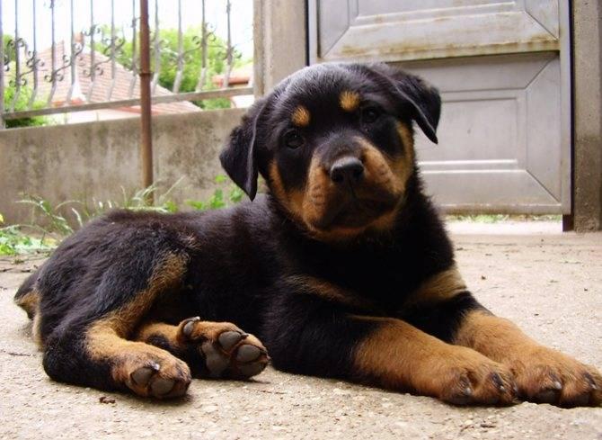 Дрессировка ротвейлера: воспитание щенка в домашних условиях и сколько по времени должна проводиться дрессура