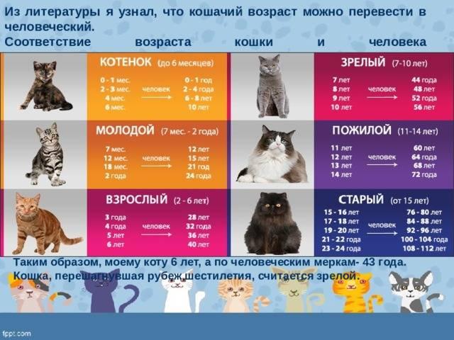 Возраст кошки в соответствии с человеческим: расчеты и таблицы