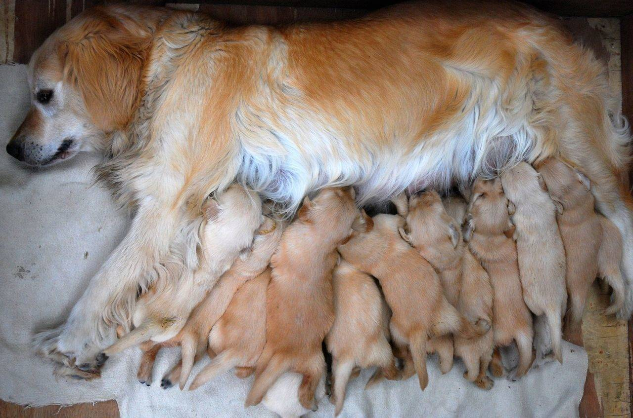 Когда можно забирать щенка домой | dogkind.ru