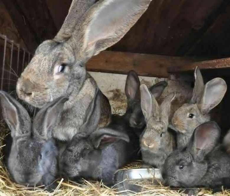 Кролик породы фландр. описание, особенности, уход и содержание | живность.ру
