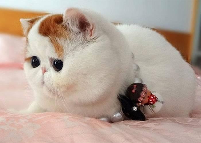 Экзотическая короткошерстная кошка: описание породы и характера