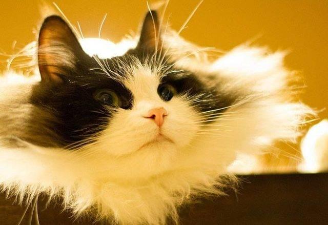 Порода кошки рагамаффин: как выглядит, чем кормить и как ухаживать