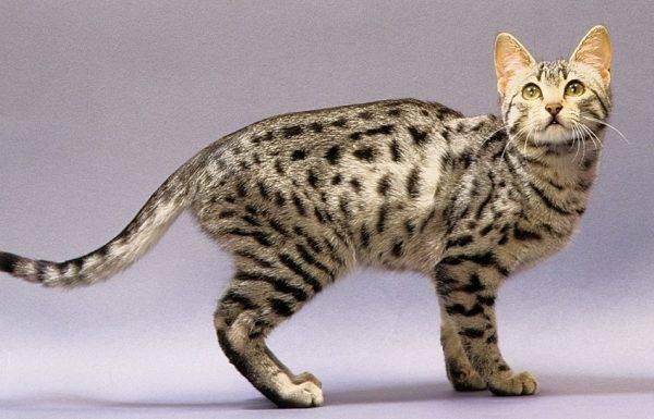 Египетская мау: кошки и коты
