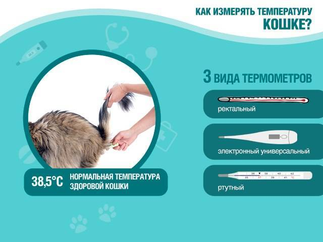 Как кошке померить температуру в домашних условиях