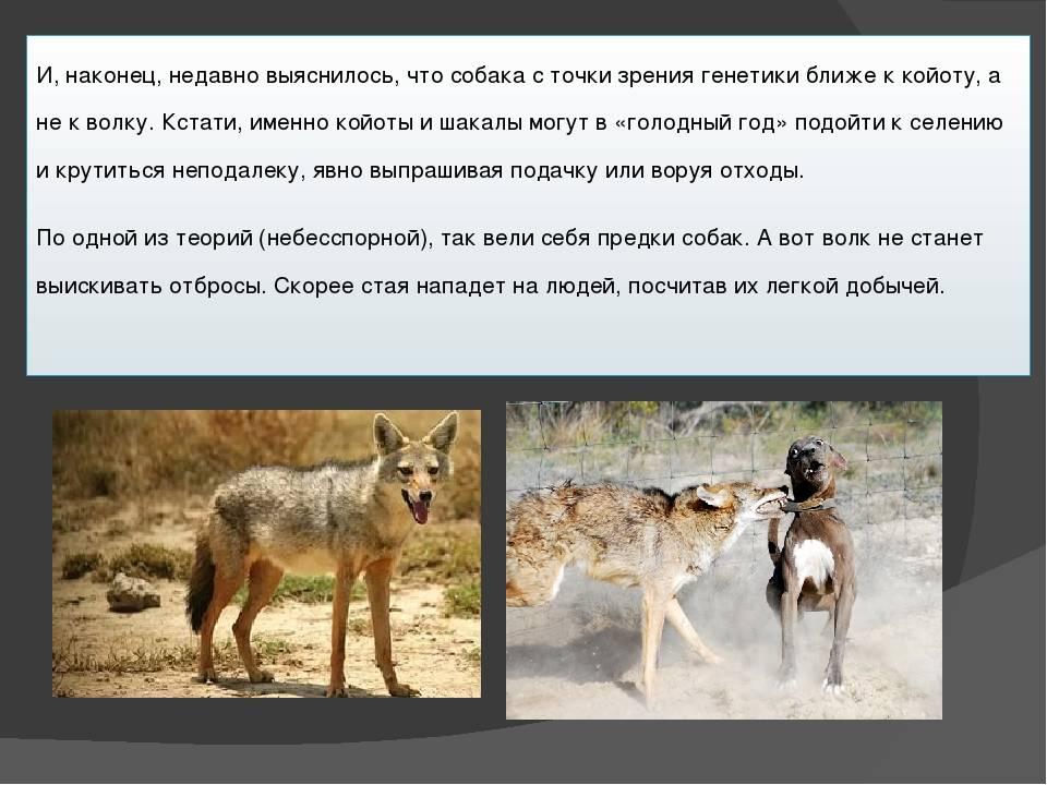 Где появились первые собаки на земле. откуда взялись различные породы собак? английский той терьер