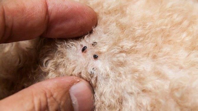 Собака грызет себе хвост: причины и лечение