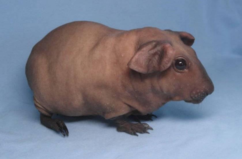 Почему у морской свинки выпадает шерсть, и шелушится кожа — линька или нет?