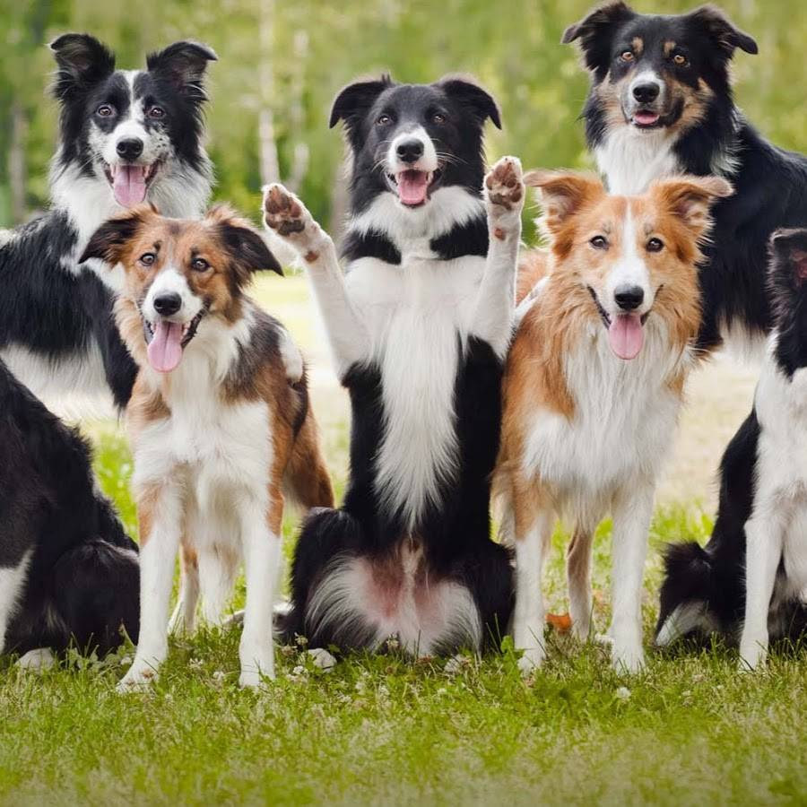 Колли — фото, описание группы пород собак, характеристика разновидностей