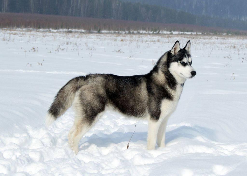 Новые породы собак с фотографиями и названиями | как выводят, самые новые