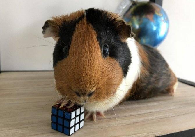 Морская свинка - уход и содержание в домашних условиях фото и видео