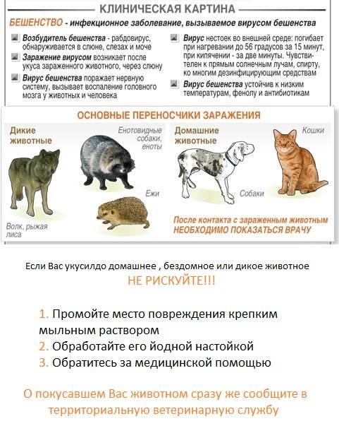 Признаки бешенства у человека после укуса кошки