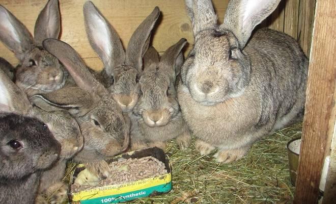 Все о кроликах породы фландр
