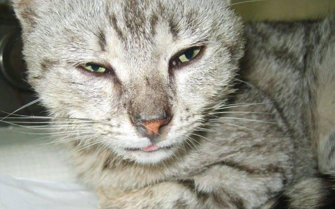 У кота заложен нос: причины и сопутствующие симптомы