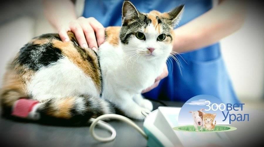 Как стерилизуют кошек: методы операции, что такое, как происходит
