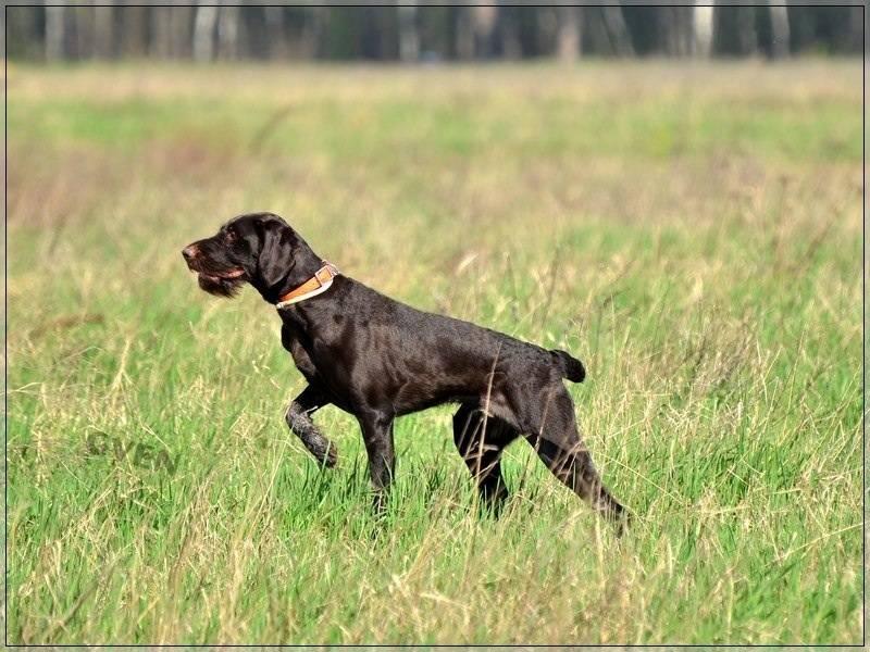 Охотничьи породы собак: список представителей с фотографиями, названиями, описаниями и ценами