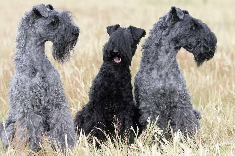 Подробное описание породы собак керри блю терьер