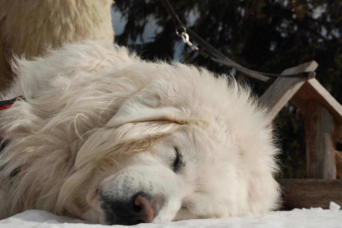 Польская овчарка (подгалянская овчарка): описание породы с фото и видео