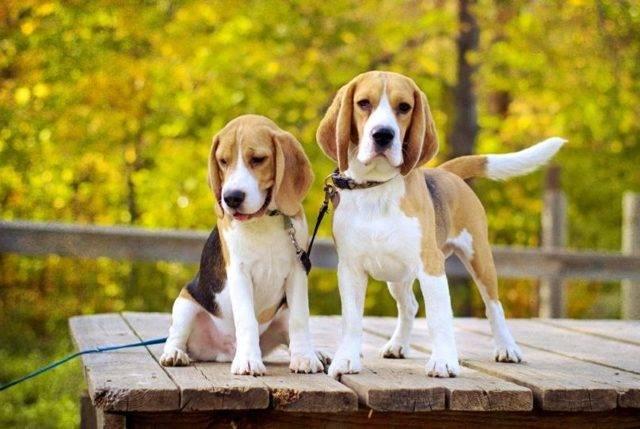Охотничьи собаки. какую выбрать универсальную собаку для охоты