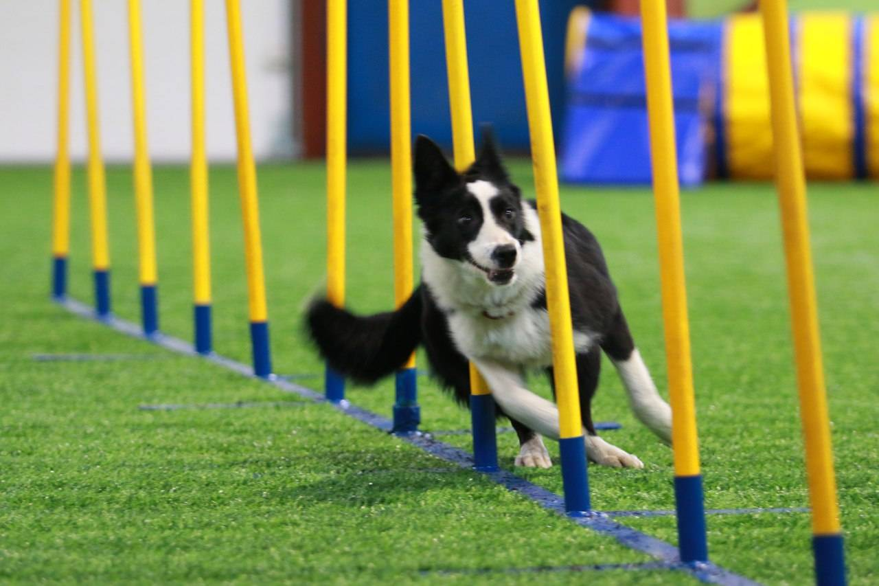 Что такое аджилити: зарядка, или соревнование для собаки?