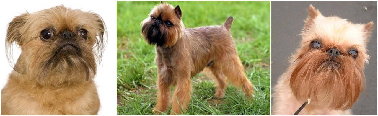 Бельгийский гриффон – фото собаки, описание породы, цена