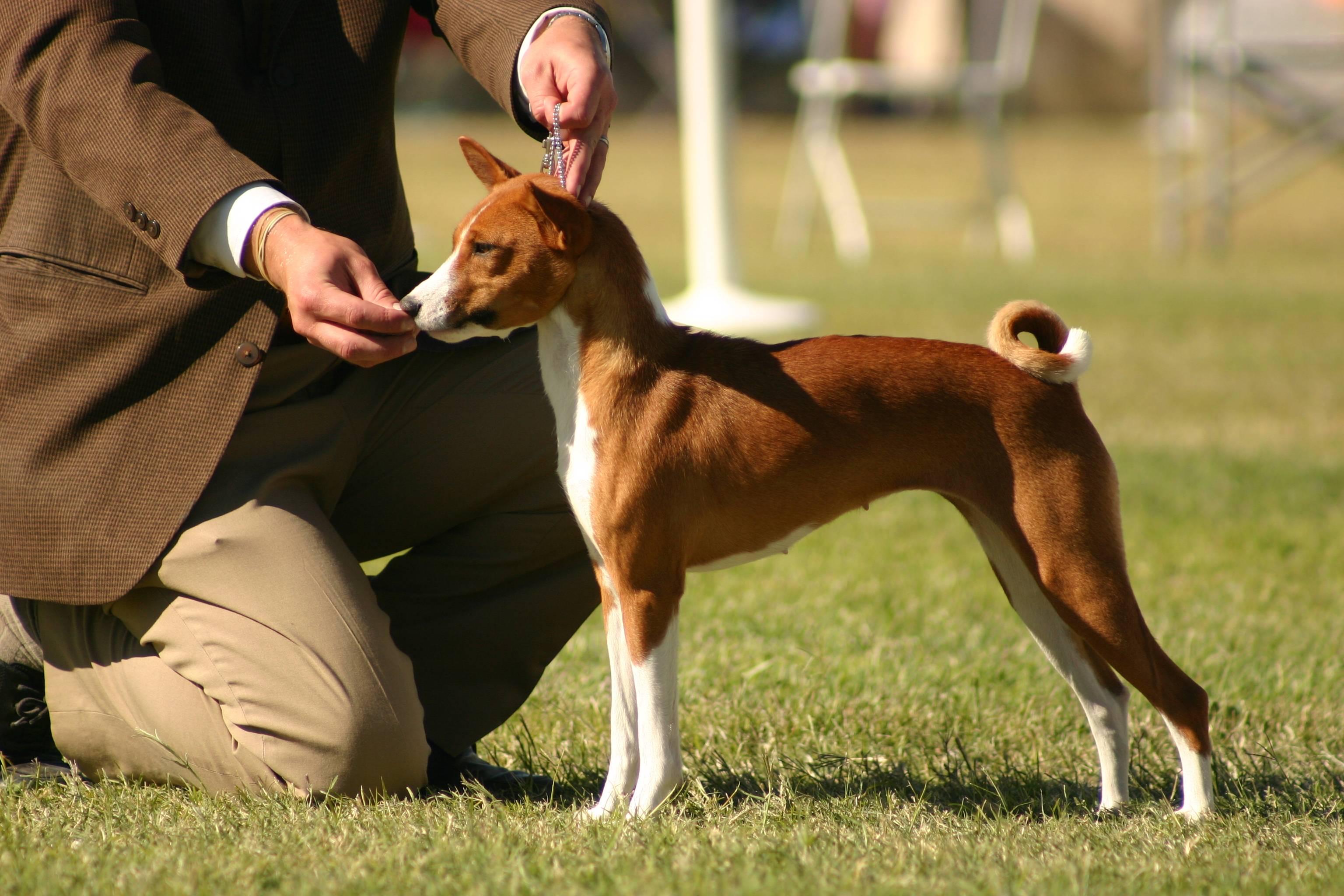 Как называются породы собак, которые не умеют лаять и постоянно молчат