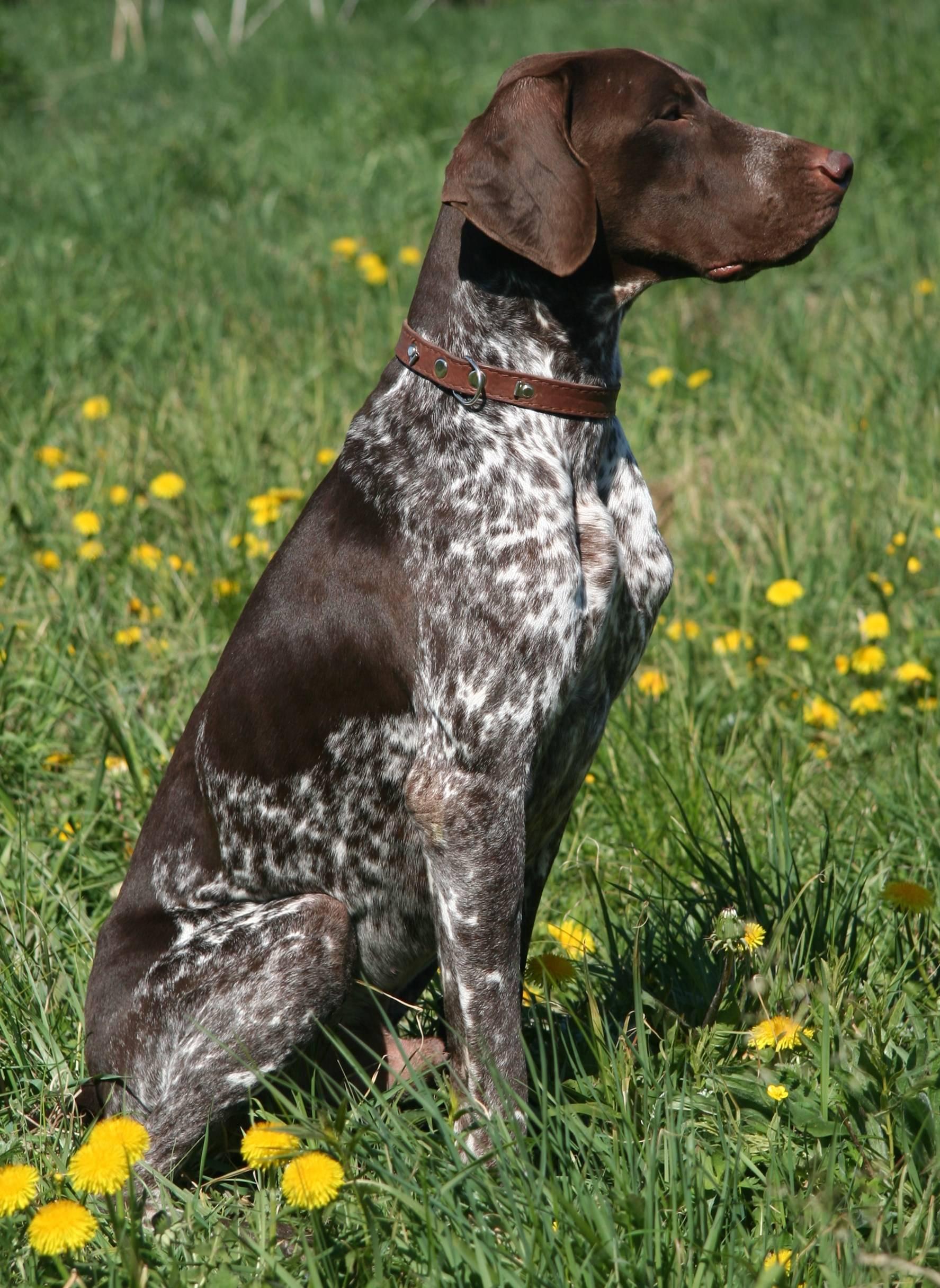 12 лучших пород легавых собак