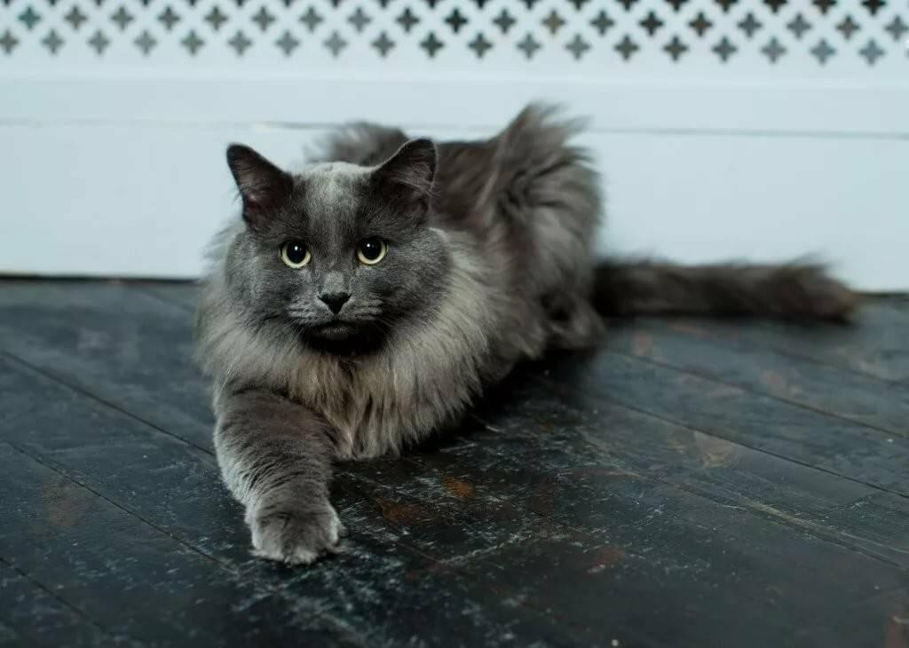 Нибелунг: что представляет собой эта редкая порода котов
