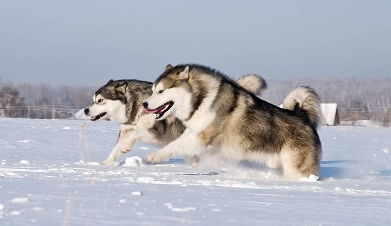 Характеристики и описание породы собак аляскинский маламут и особенности содержания и дрессировки