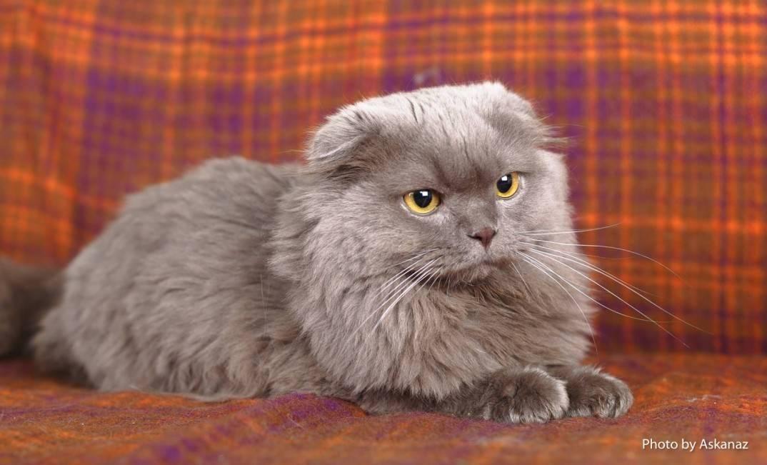 Шотландская вислоухая кошка: хайленд фолд, описание породы, фото