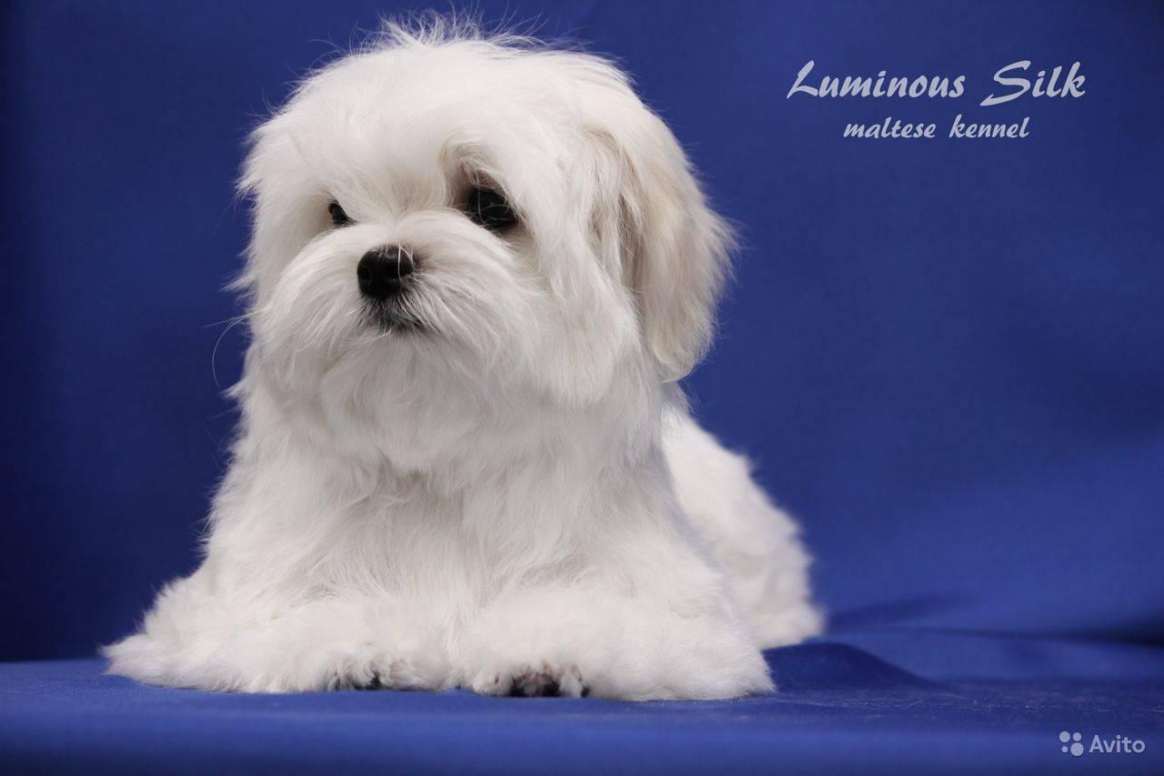 Мальтийская болонка: описание породы собак, характер и содержание