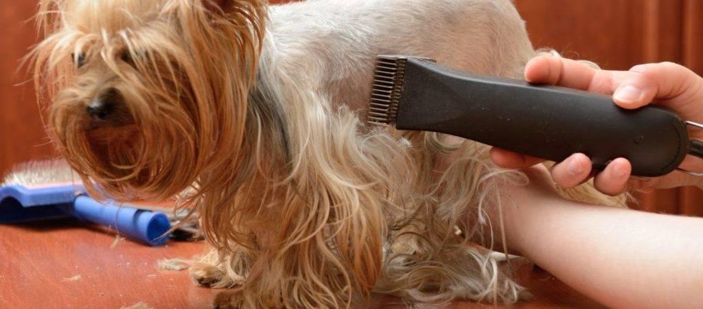Стрижки цвергшнауцера (29 фото): схемы тримминга собак. особенности первого груминга. как подстричь собаку в домашних условиях?