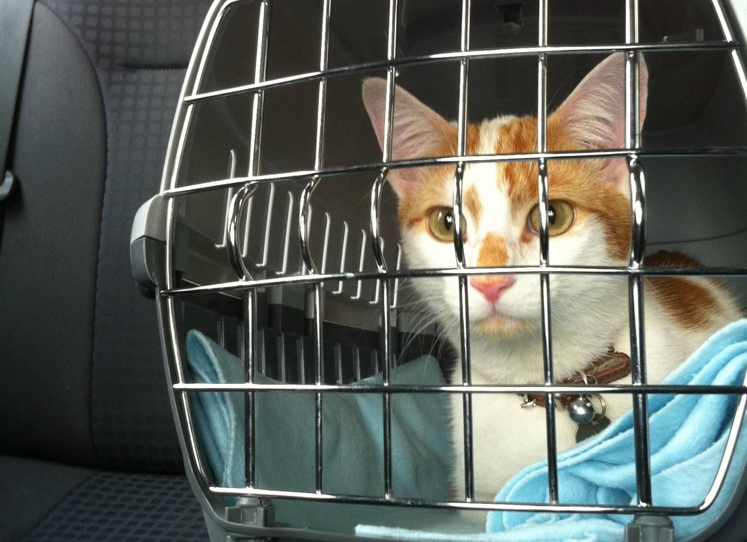 """Как перевезти кошку на дальнее расстояние: что взять с собой и как успокоить питомца — журнал """"рутвет"""""""