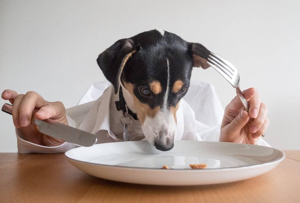 Шокояд: почему собакам нельзя давать шоколад