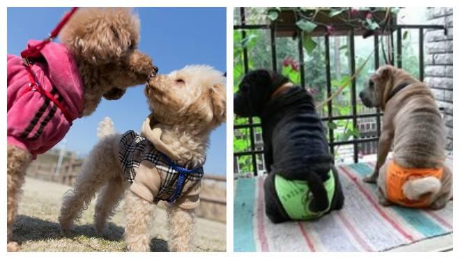 Особенности первой и последующих течек у разных пород собак: продолжительность