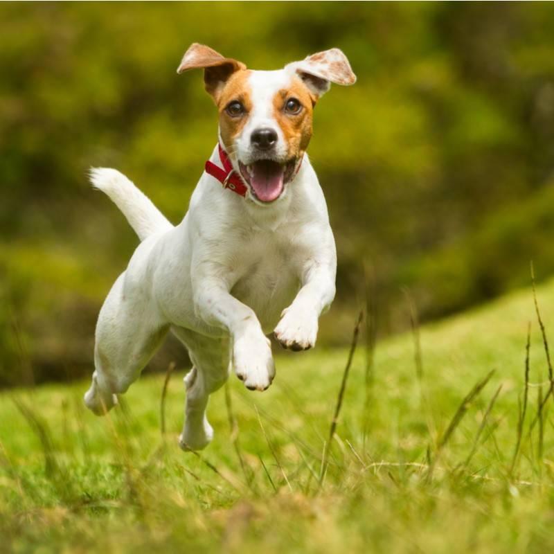 Кличка арчи для собаки: значение имени, перевод.