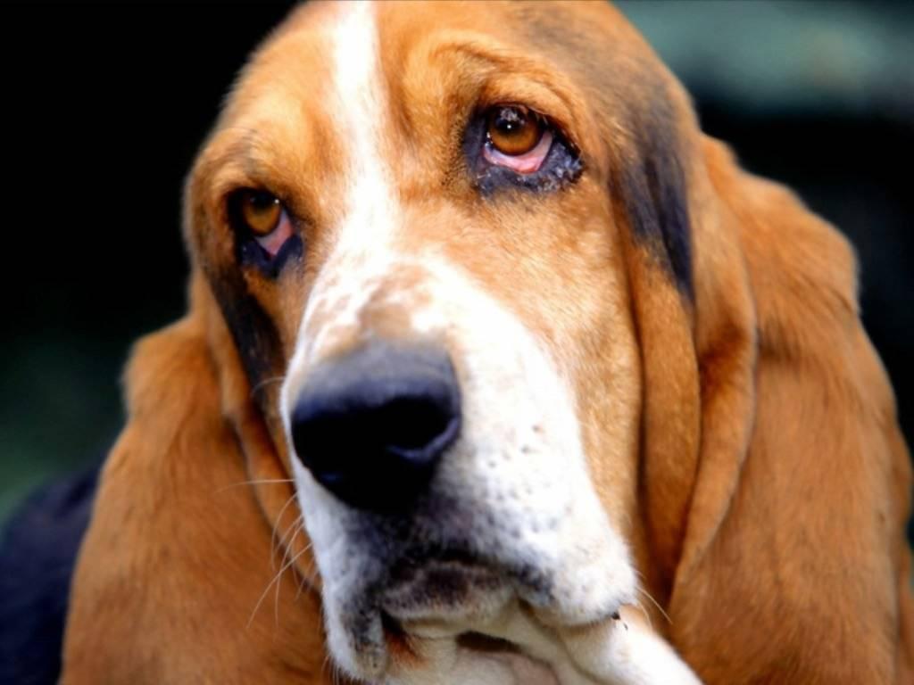 6 пород собак с длинными, висячими ушами: фото и описание