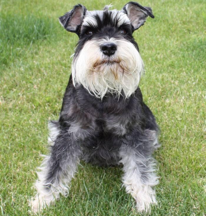 Подробное описание всех видов собак породы шнауцер