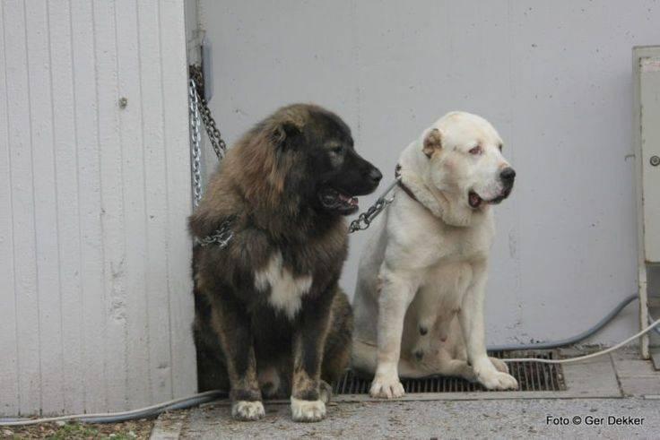 Алабай: фото среднеазиатской овчарки, происхождение, разновидности и характеристика породы собак