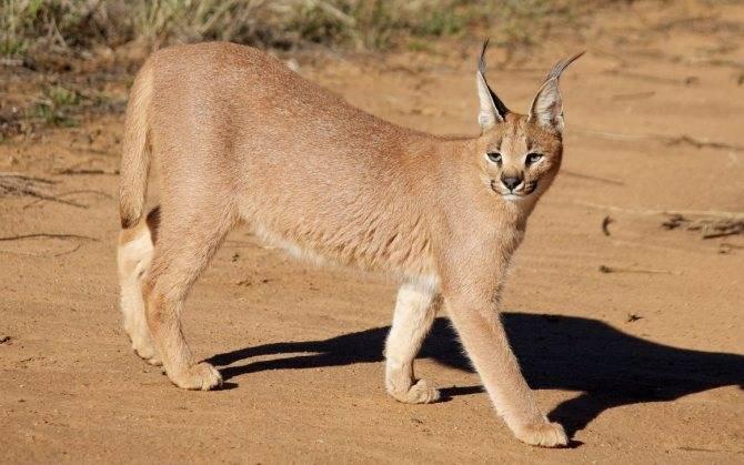Каракал пустынная рысь: описание и фото породы, содержание и уход в домашних условиях, где купить степного кота