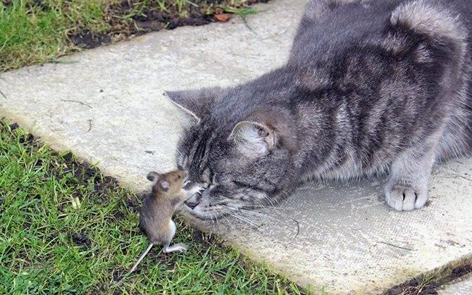 Кто лучше ловит мышей — кот или кошка?